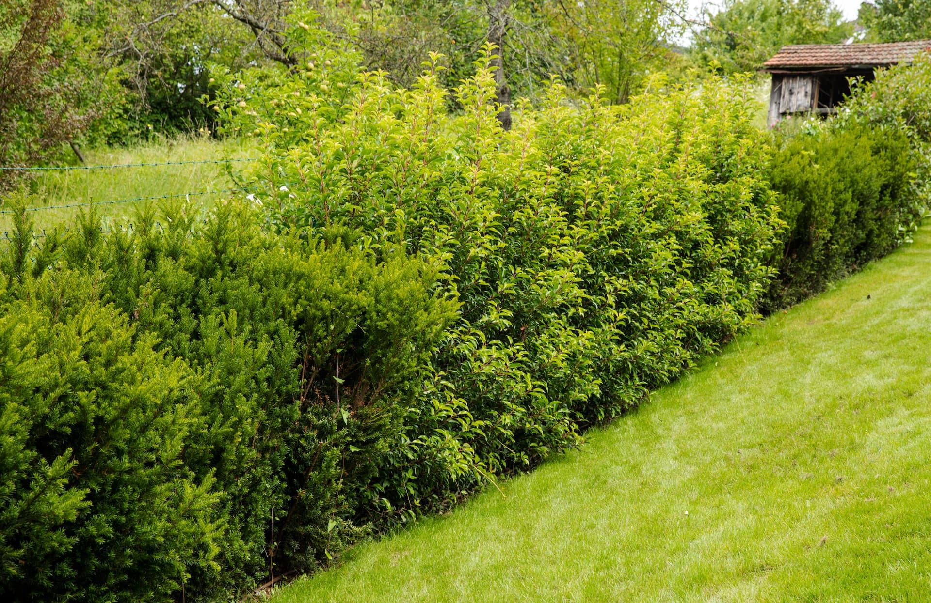Grenzbepflanzung nach vorheriger Entfernung von Altpflanzen