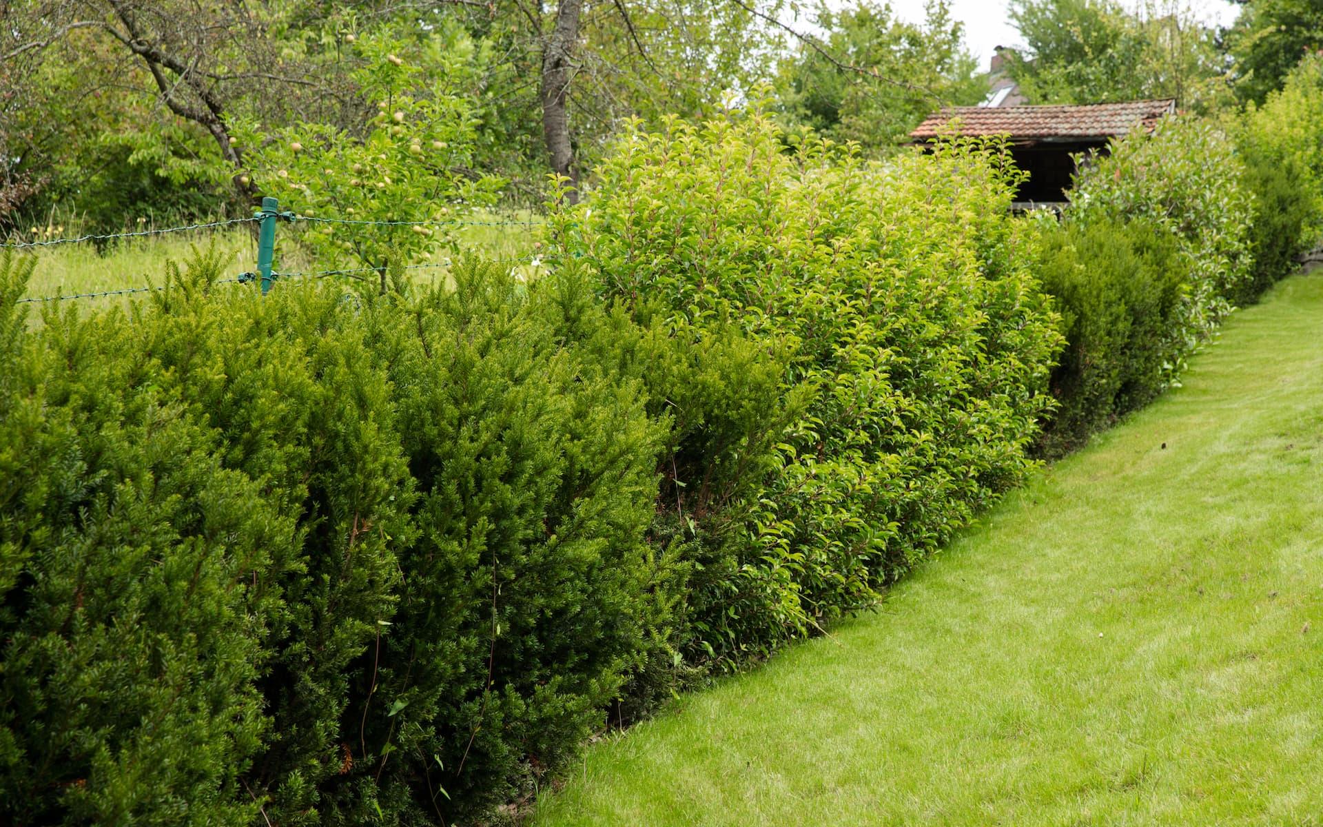 Grenzbepflanzung nach vorheriger Entfernung von schadhaften Altpflanzen mit Spezialgerät